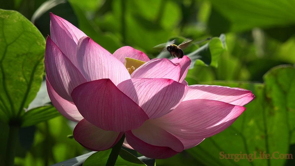 10 Minute Flower Meditation Video Tilting Pink Lotus 4k